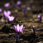 انواع زعفران