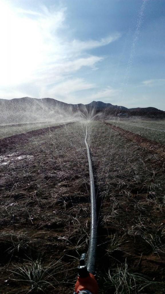 آبیاری بارانی مزارع زعفران