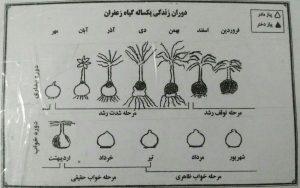 آموزش کشت زعفران بدون خاک