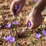 زعفران ایران ، همه چیز در مورد قیمت بالای زعفران